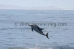 Encounter Kaikoura - swimming with dolphins (loads of 'em!)